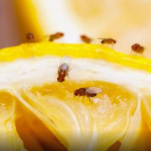 Fruchtfliegen: So wird man sie endlich los!