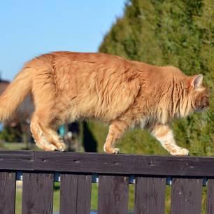 Weltrekord: Mit 1,20 Meter ist Omar die größte Katze der Welt