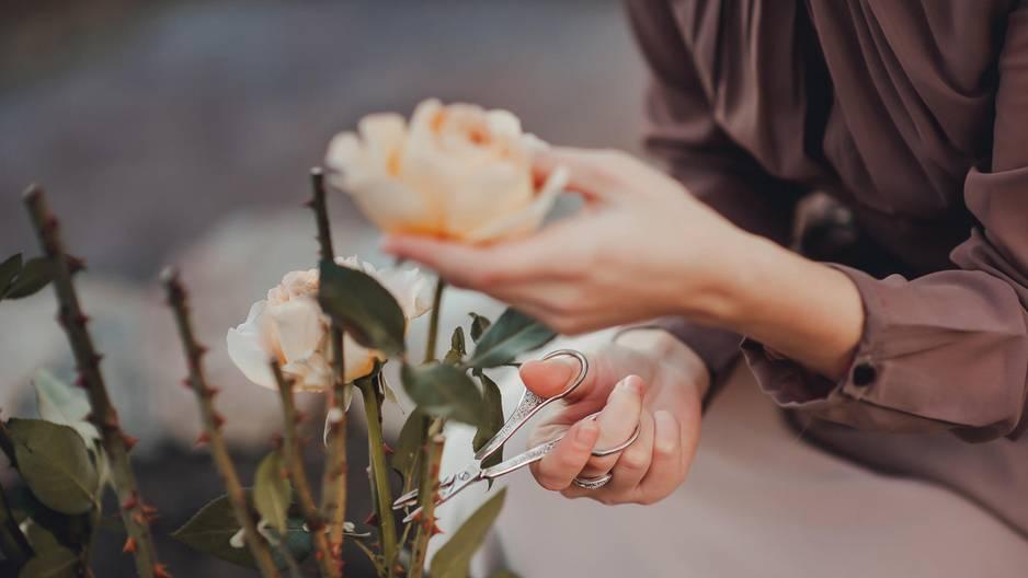 Rosen schneiden: Frau hält Rose fest und setzt Schere am Stiel an