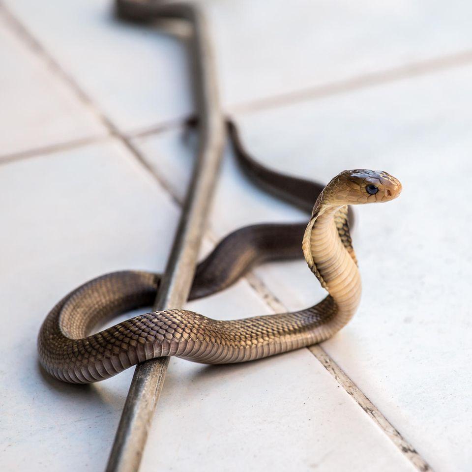 Überraschungsbesuch: Schlange betätigt Türklingel