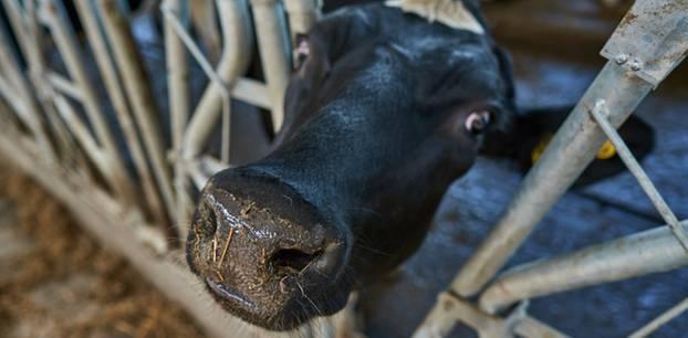 Symbolbild Kuh in einem Stall