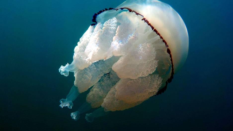 Taucherin schwimmt mit menschengroßer Qualle