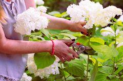 Hortensien schneiden: Frau schneidet weiße Hortensienblüten ab