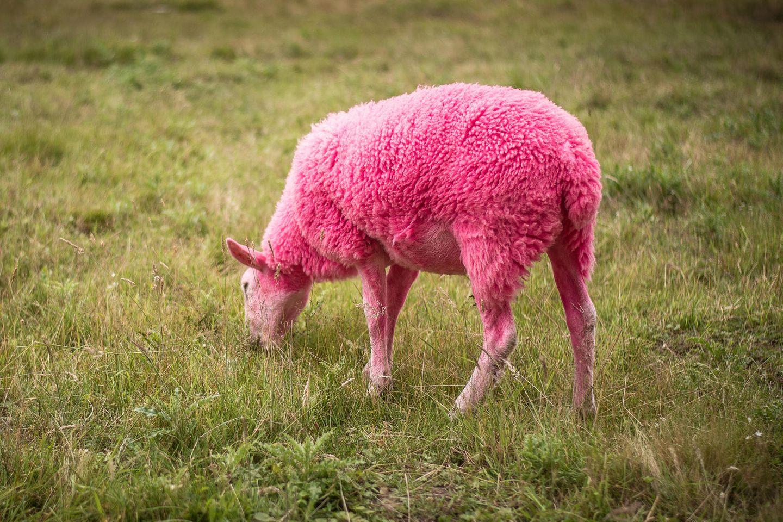 Pinke Schafe alarmieren Tierschützer