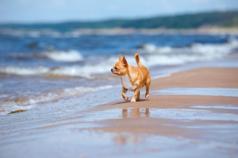 Ein Chihuahua soll von einer Möwe geklaut worden sein