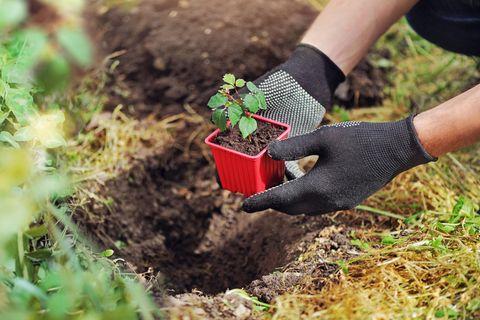 Wein pflanzen im eigenen Garten: Mensch setzt kleinen Setzling in ein Pflanzloch im Boden