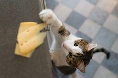 Katze erziehen: Katze greift nach Käse, der auf der Küchenanrichte liegt