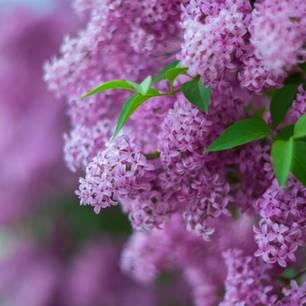Flieder schneiden: Lilafarbene Fliederblüten