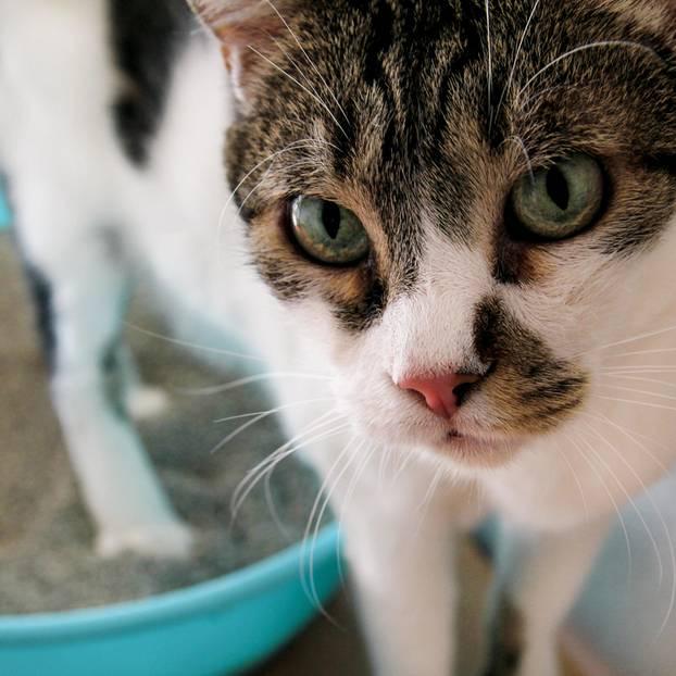 Katze hat Durchfall: Katze auf dem Katzenklo