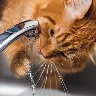 Katze trinkt viel: Katze trinkt vom Wasserhahn