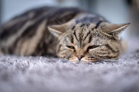 Katze einschläfern: Katze liegt auf Teppich