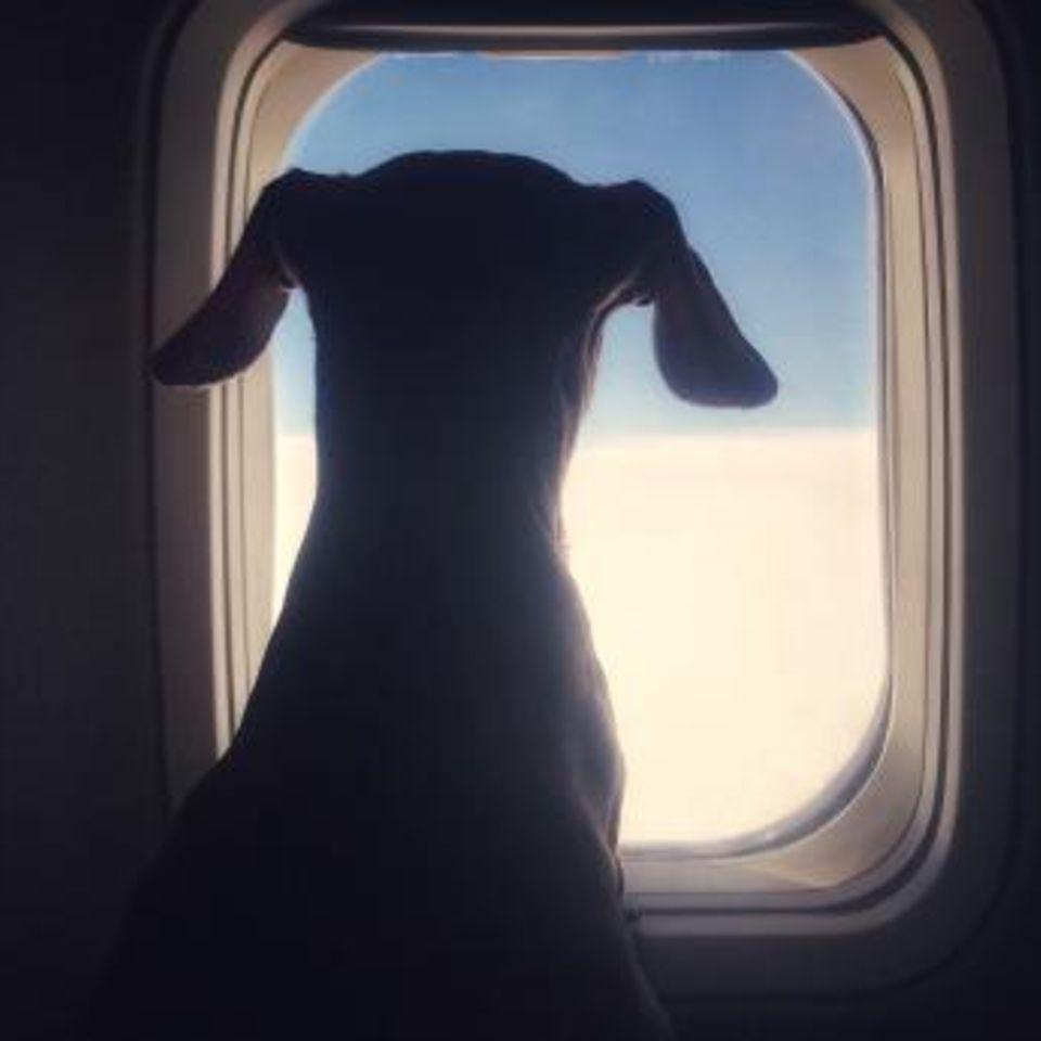 Gesundheitsrisiko: Diese Hunderassen dürfen auf keinen Fall mit in den Flieger!