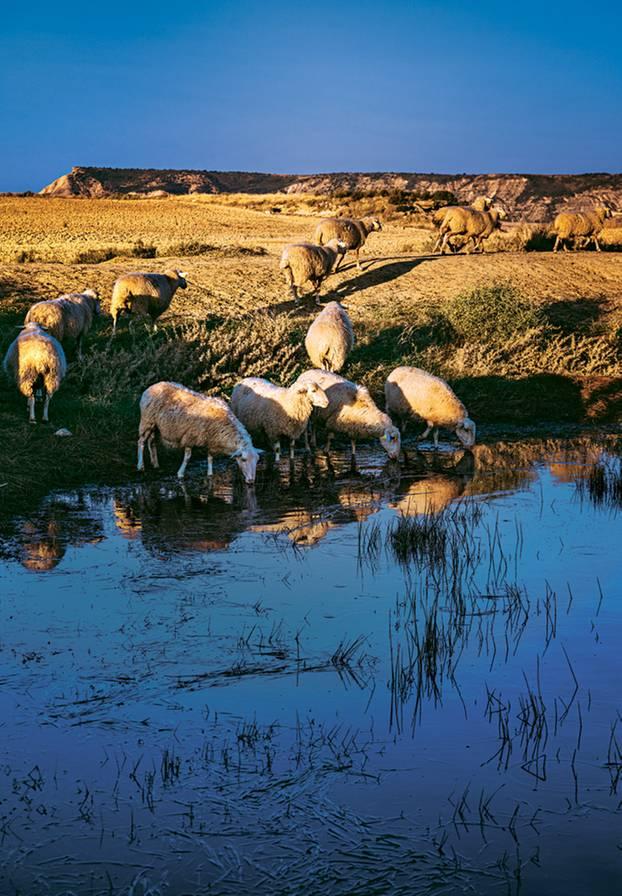 Bardenas Reals: Schafe am Wasser