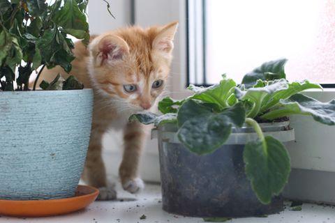 Giftige Pflanzen für Katzen: Kitten steht zwischen zwei Pflanzen und riecht an einer der beiden