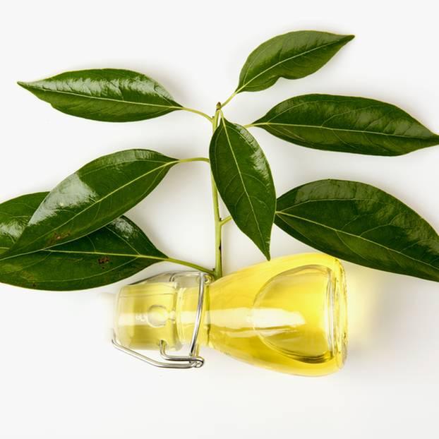 Kampferöl: Blätter des Kampferbaumes liegen neben einer kleinen Glasflasche, die mit Kampferöl gefüllt ist