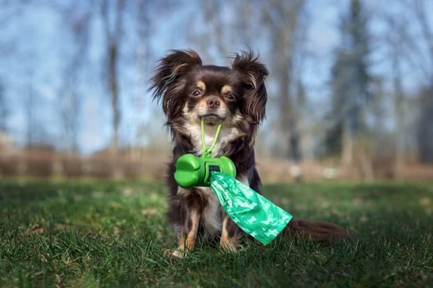 Hundekotbeutel vs. Öko-Gewissen - wie passt das zusammen? Kleiner Hund mit Gassibeutel im Maul