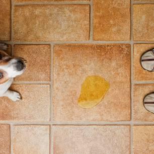 Welpe stubenrein: Hund macht Geschäft auf Fließen