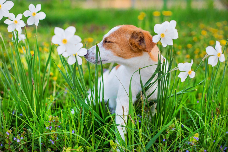 Giftige Pflanzen für Hunde: Kleiner Hund steht auf einer Wiese zwischen Narzissen