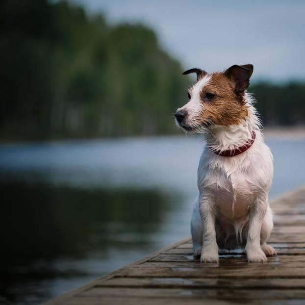 Terrier-Hitze