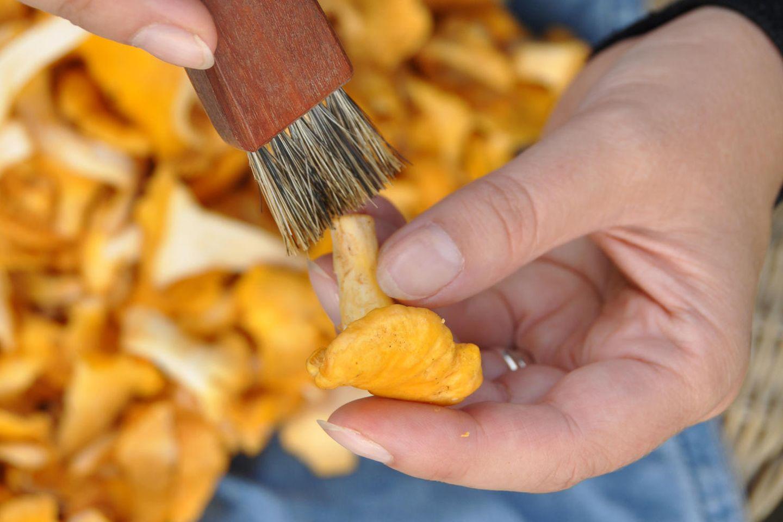 Pfifferlinge putzen: Frau putzt Pfifferlinge mit einem Pinsel