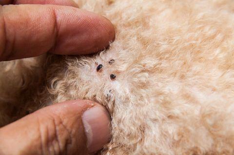 Hausmittel gegen Flöhe: Flöhe auf Hundefell