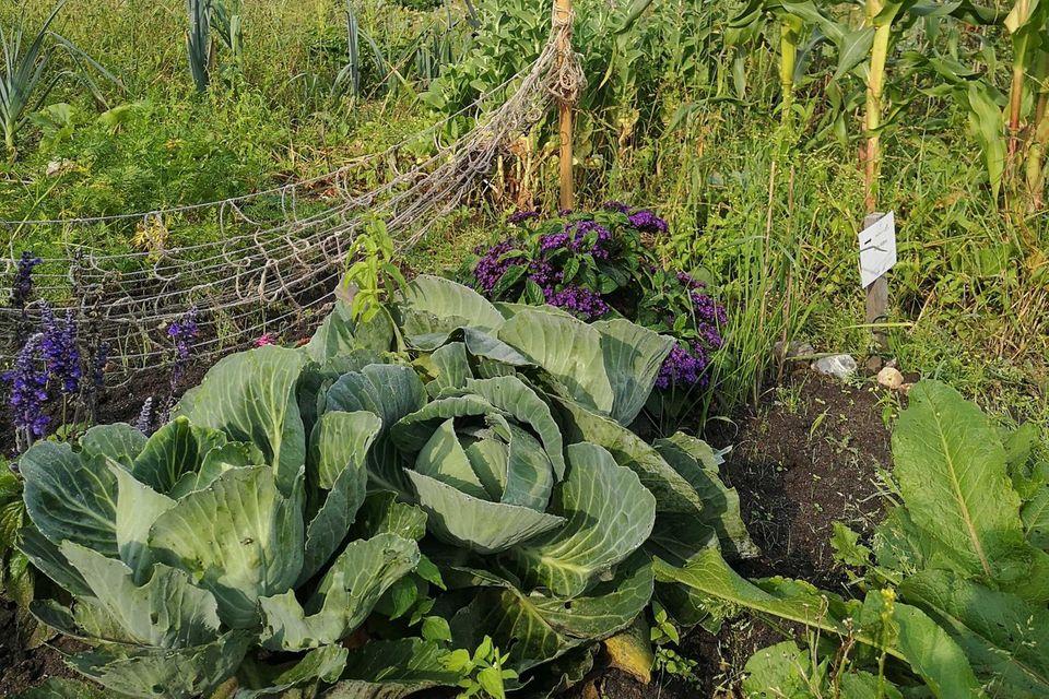 Meine Ernte: Im Gemüsegarten wachsen Kohl, Mais und Artischocken
