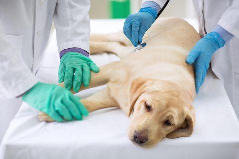 Tierhalter in Angst: Dutzende Hunde an mysteriöser Krankheit gestorben