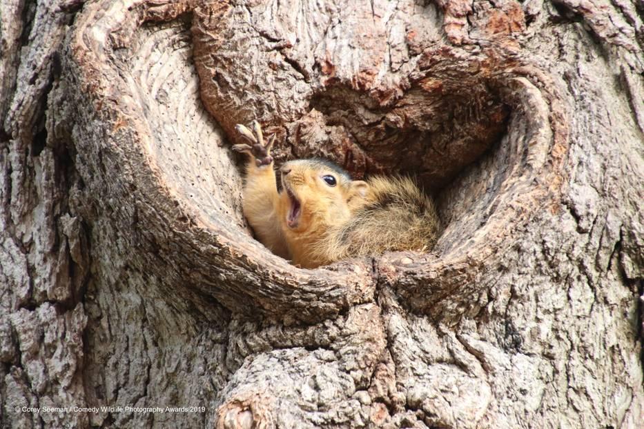 Comedy Wildlife Awards 2019: Ein Eichhörnchen in einem Baumloch