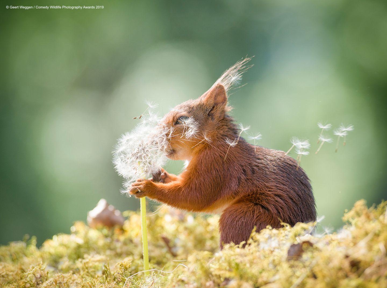 Comedy Wildlife Awards 2019: Eichhörnchen mit Pusteblume