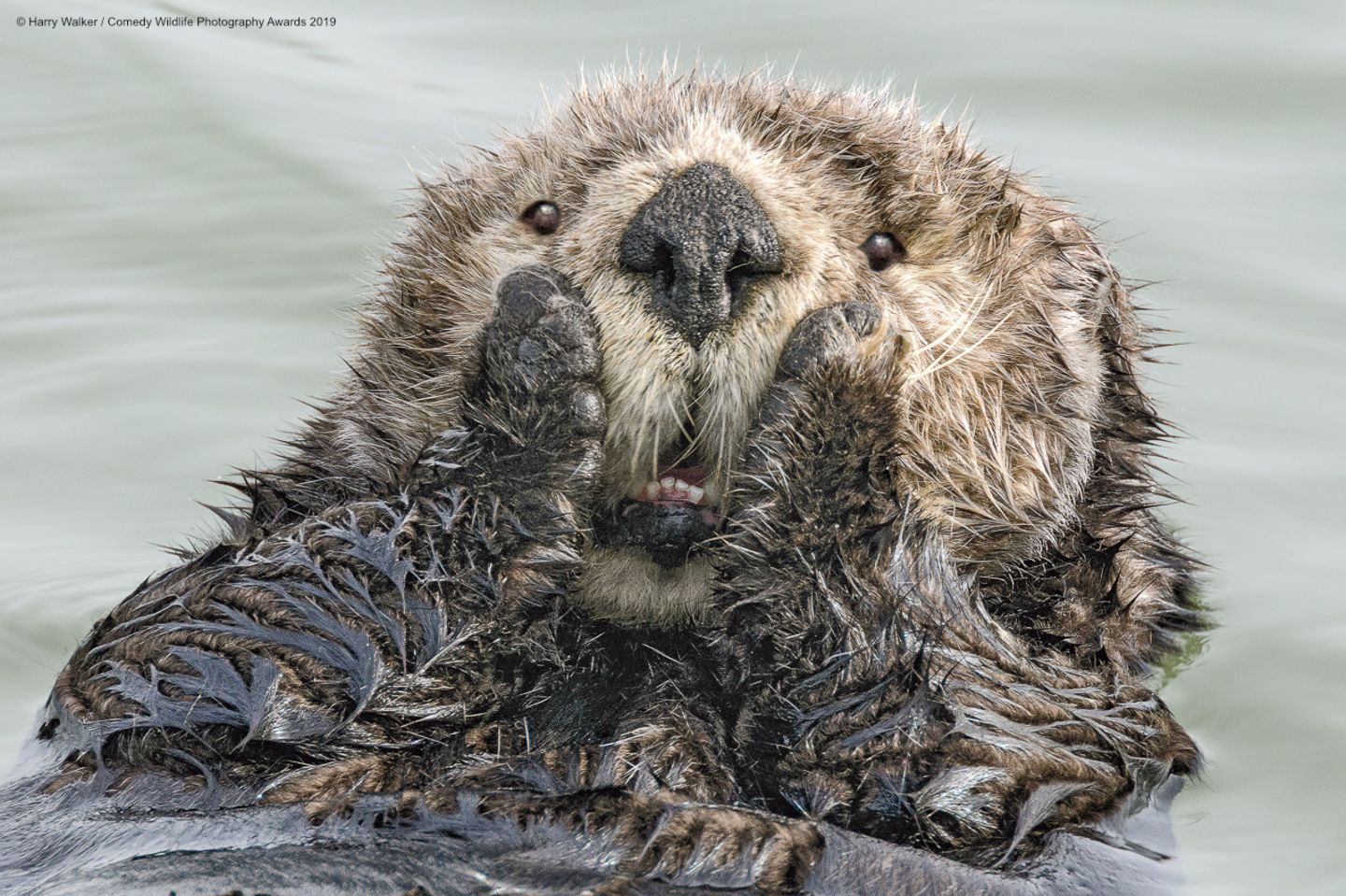 Comedy Wildlife Awards 2019: Otter im Wasser