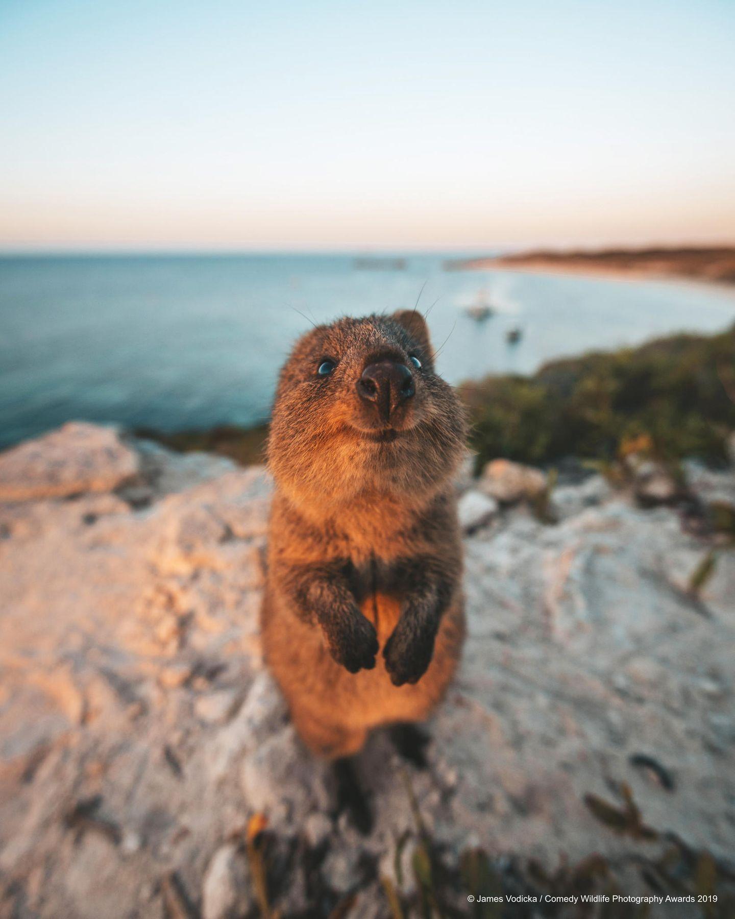 Comedy Wildlife Awards 2019: Quokka schaut in die Kamera