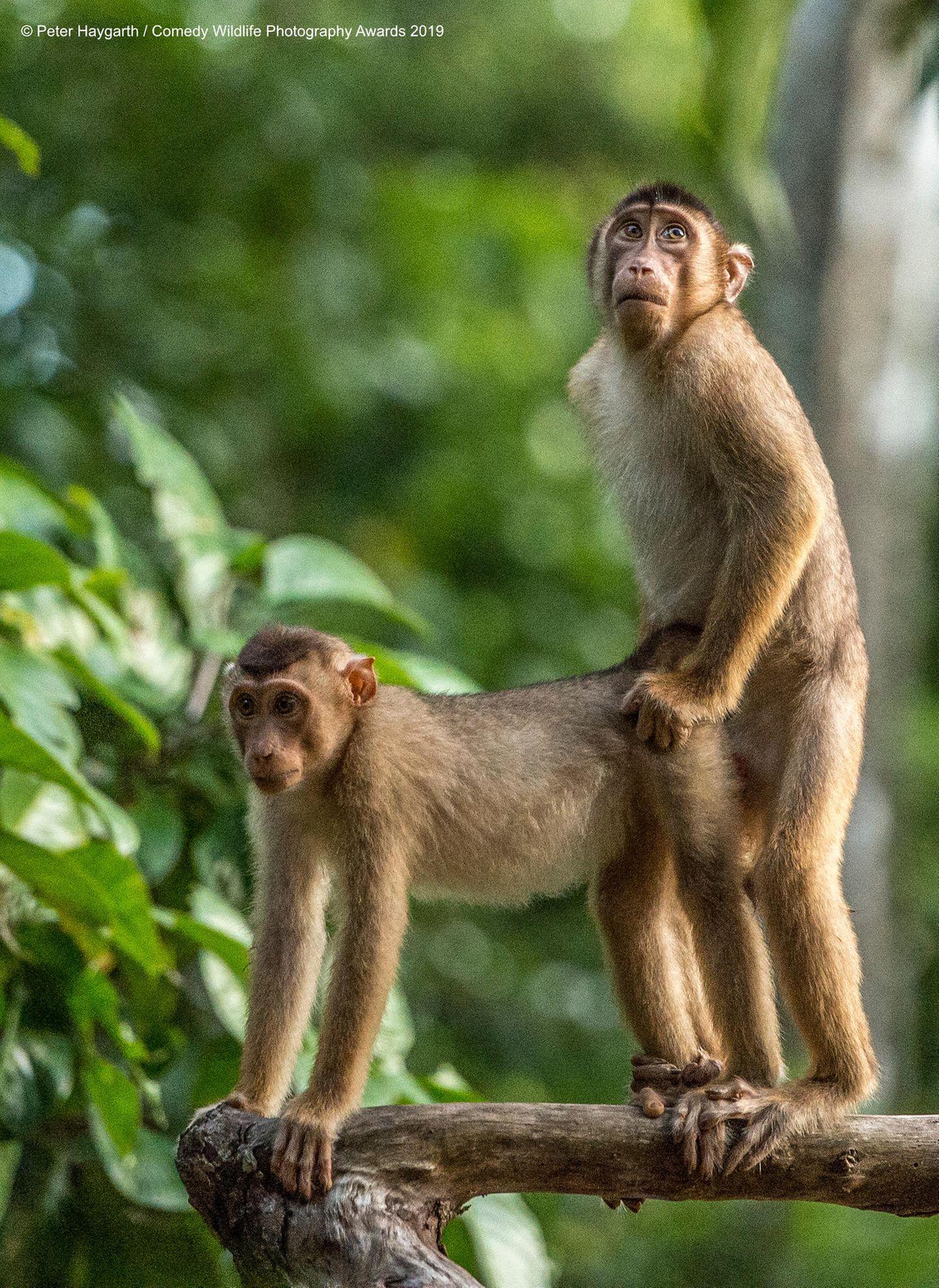 Comedy Wildlife Awards 2019: Zopf-Makaken Paar auf einem Ast