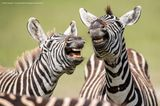 Comedy Wildlife Awards 2019: Zwei Zebras zeigen Zähne