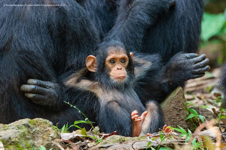 Comedy Wildlife Awards 2019: Schimpansenjunges lehnt sich gegen seine Mutter