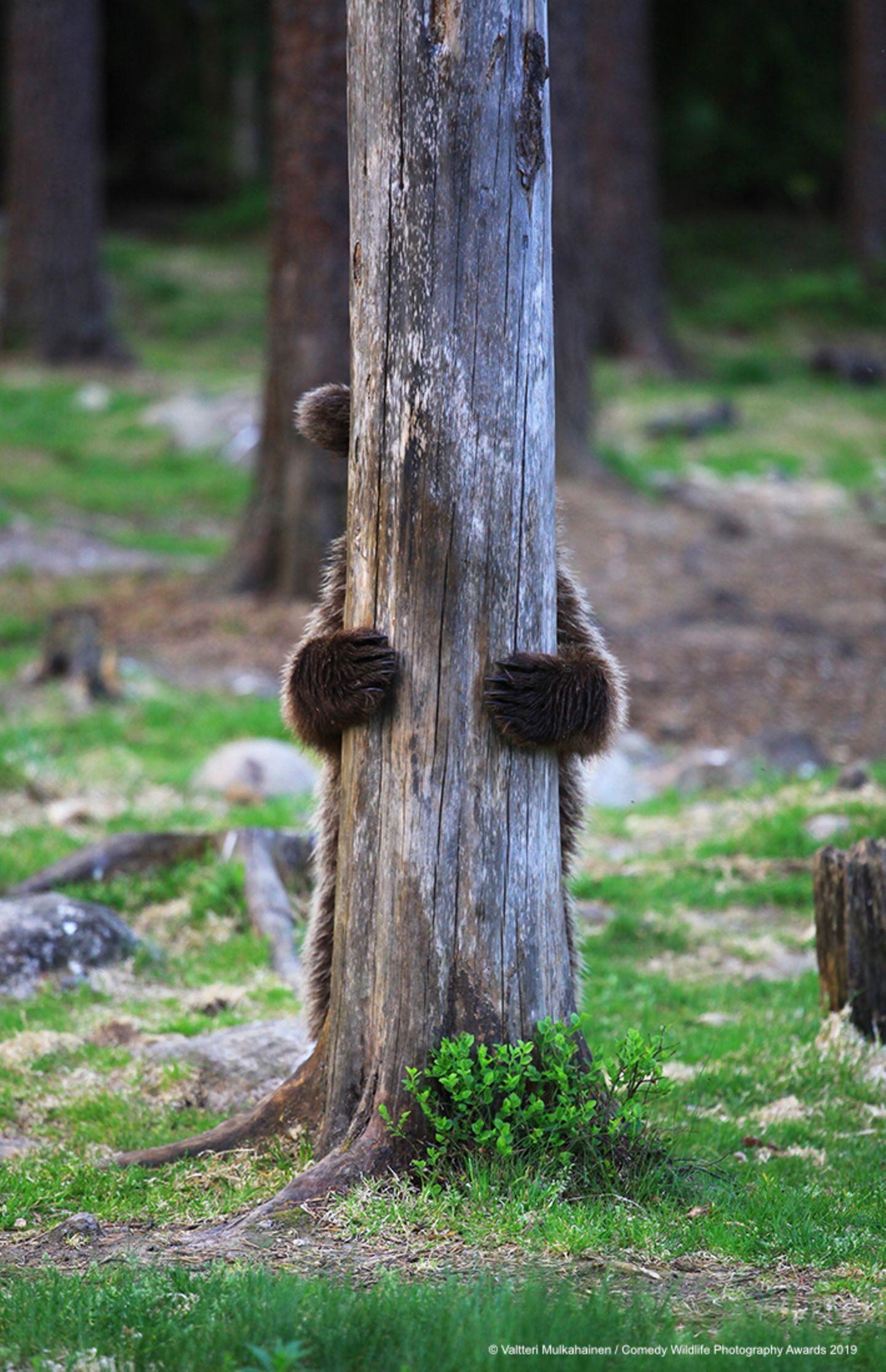 Comedy Wildlife Awards 2019: Bär hinter einem Baum