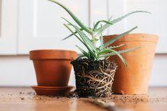 Pflanzen umtopfen: Zimmerpflanze und Tontöpfe