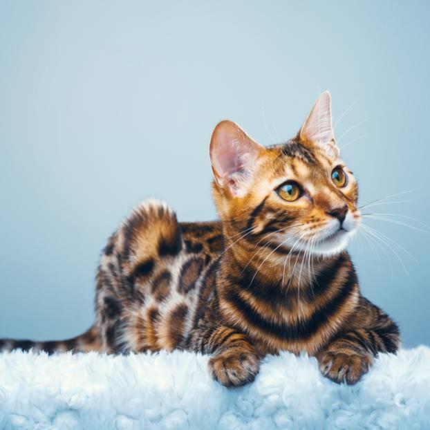 Teuerste Katzen der Welt: Foto von Bengalkatze