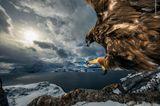 Wildlife Photographer of the Year: Steinadler fliegt auf Ast