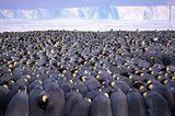 Wildlife Photographer of the Year: große Kaiserpinguin Horde in der Antarktis