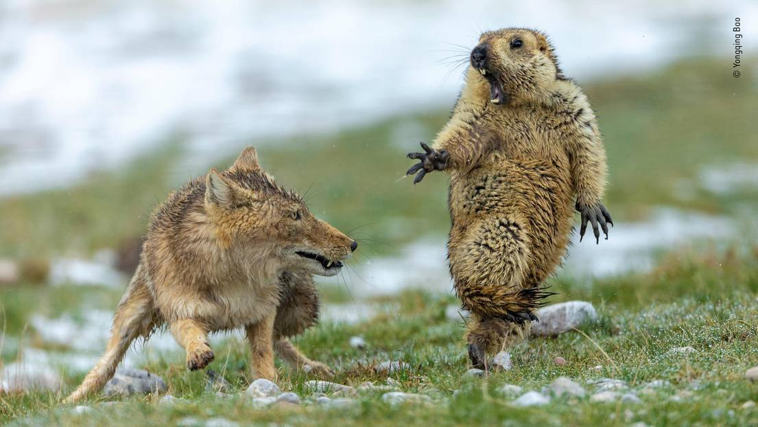 Wildlife Photographer of the Year: Fuchs greift Murmeltier an