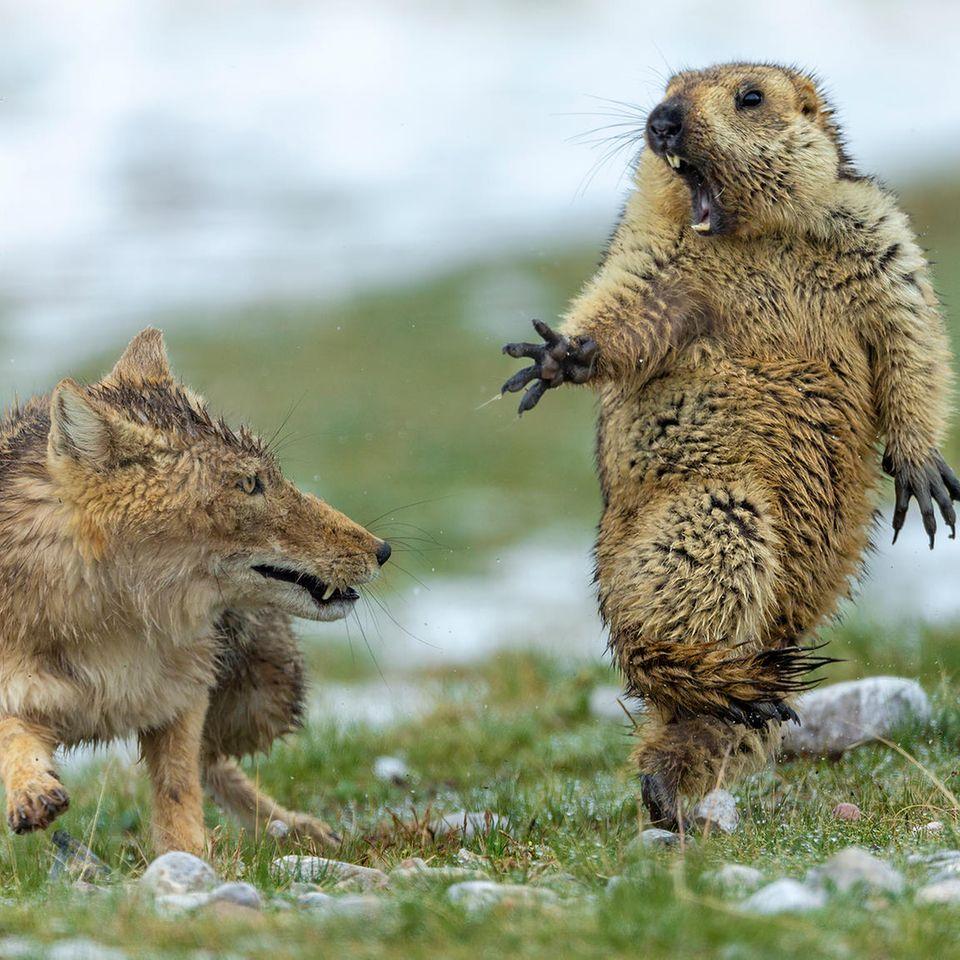 Wildlife Photographer of the Year: Fuchs greift Murmeltier an