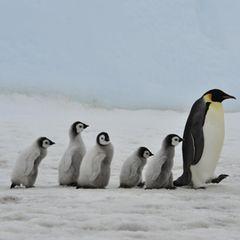 Gute-Laune-Fakten: Eine Pinguin-Familie spaziert über das Eis