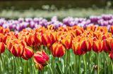 Gute-Laune-Fakten: Bunte Tulpen