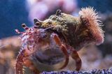 Gute-Laune-Fakten: Ein Einsiedlerkrebs mit Seeanemone