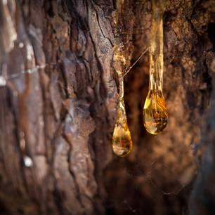 Harzflecken entfernen: Harz tropft vom Baum