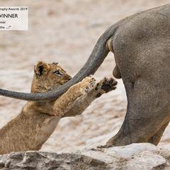 Comedy Wildlife Awards 2019: Löwenbaby greift nach Löwe