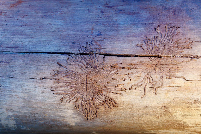 Holzwürmer bekämpfen: Spuren im Holz von Holzwürmern