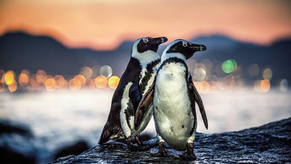 Neuseeland: Zwei Pinguine sorgen in Sushi-Laden für einen riesigen Schock: Foto von zwei Pinguinen