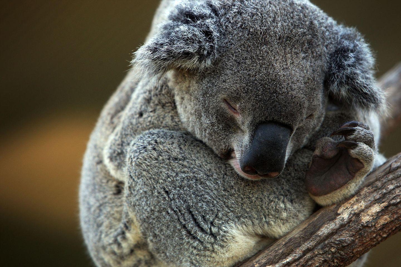 Dieser Koala wäre fast verbrannt – doch eine Frau konnte ihn retten