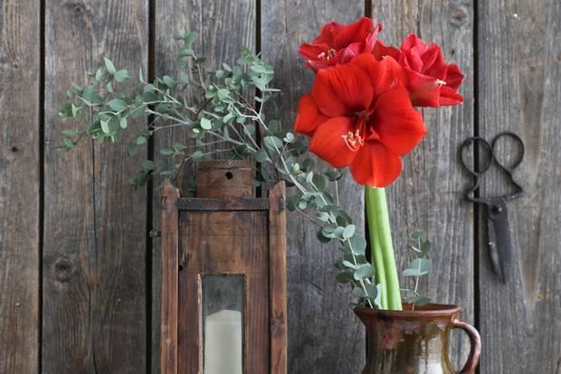 Amaryllis-Pflege: Amaryllis in Vase und mit Deko